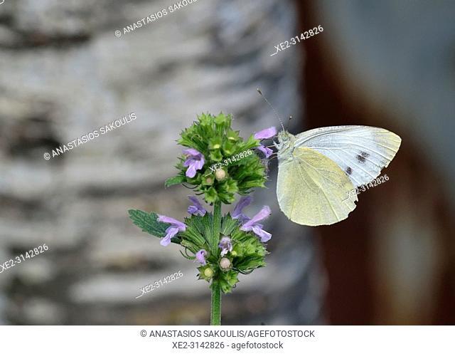 Pieris ergane (Mountain Small White), Greece