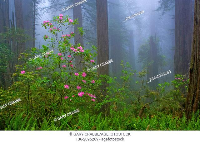 Wild Rhododendron flowers in bloom, Redwood trees, and fog in forest, Redwood National Park, California