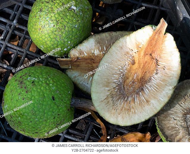 Kauai Hawaii Garden, Ulu, breadfruit