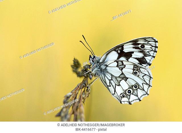 Marbled white (Melanargia galathea) butterfly, Burgenland, Austria