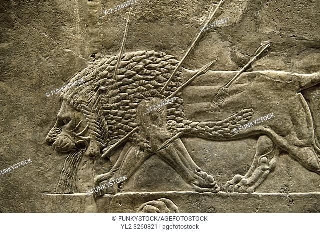 Assyrian relief sculpture panel from the lion hunt showing a dying lion. From Nineveh North Palace, Iraq, 668-627 B. C. British Museum Assyrian Archaeological...