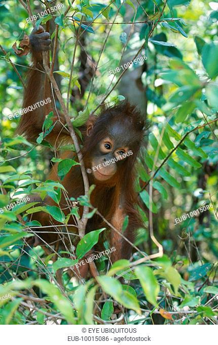 Baby Orang Utan (pongo pygmaeus) at rehabilitation centre in Borneo