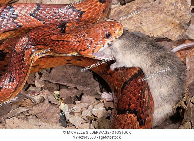 Okeetee corn snake, Elaphe guttata, red rat snake, colour phase from South Carolina; feeding on mouse