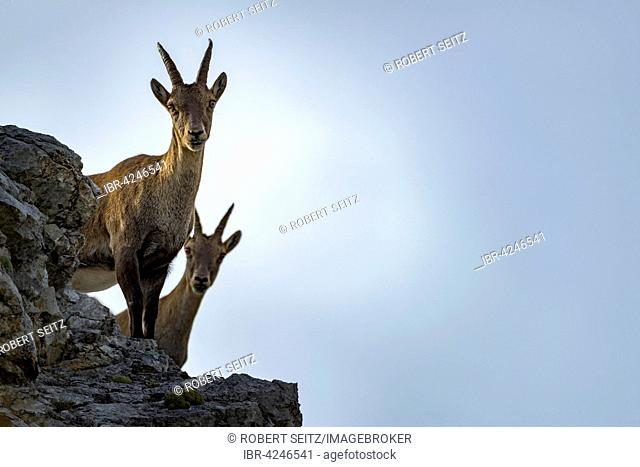 Alpine ibex, also steinbock or bouquetin (Capra ibex) female standing on rock, Gramais, Lech Valley, Tyrol, Austria
