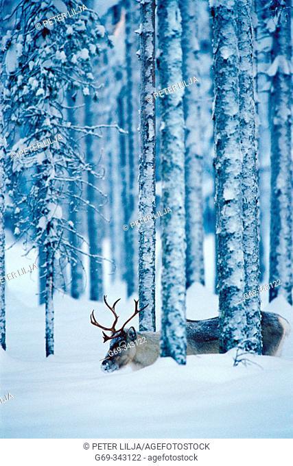 Reindeer (Rangifer tarandus). Svansele, Västerbotten, Sweden