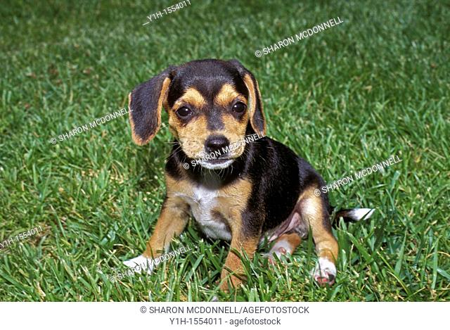 Baby beagle puppy sitting awkwardly in grass waiting, Midwest USA