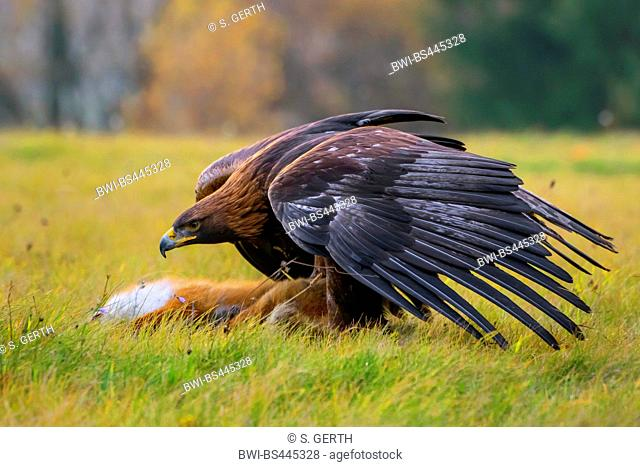 golden eagle (Aquila chrysaetos), sitting in a meadow with outstretched wings over a dead fox, side view, Czech Republic, Hlinsko