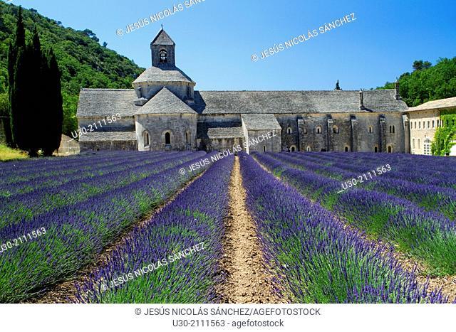 Lavender fields (Lavandula angustifolia), next to Senanque abbey, near to Gordes village. Apt district, in Vaucluse department and Provence-Alpes-Cote d'Azur...