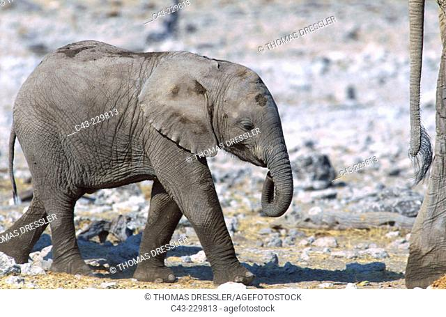 African Elephant (Loxodonta africana). Breeding herd has been at a waterhole. Ethosha National Park. Namibia