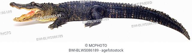 American alligator Alligator mississippiensis, with open mouth, USA