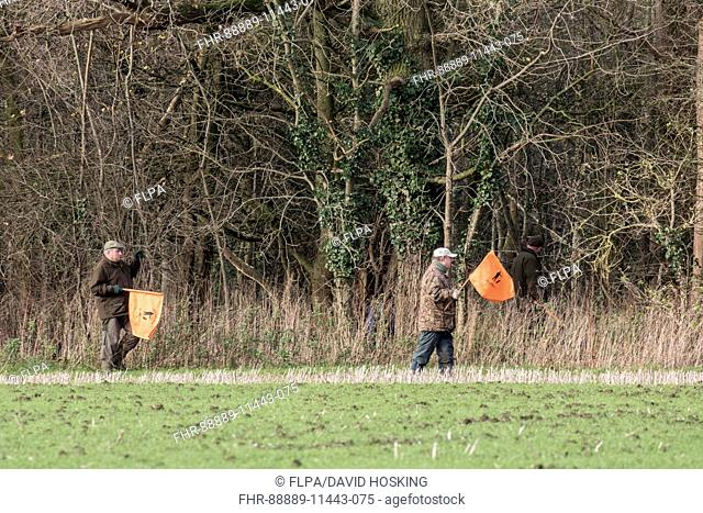 Beaters waving flags to move pheasants forward on shoot day, Boulge Suffolk