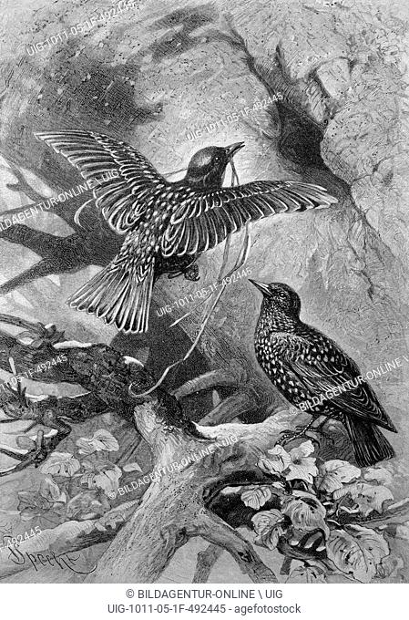 Nesting starlings (sturnus vulgaris), historical illustration, ca. 1893