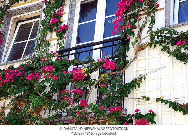 Bougainvillaea flowering tree climbing on front facade of the house, historic part of Lagos city, Algarve, Portugal, Europe