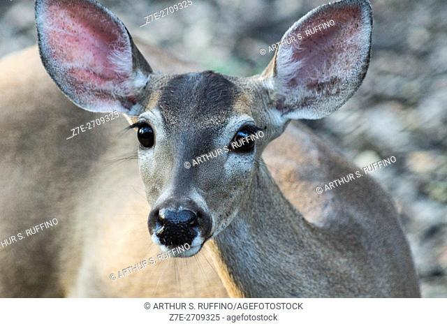 Close-up of a white-tailed deer