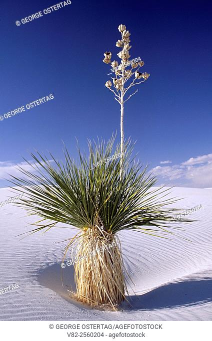 Yucca on dune at backcountry camp loop, White Sands National Monument, New Mexico