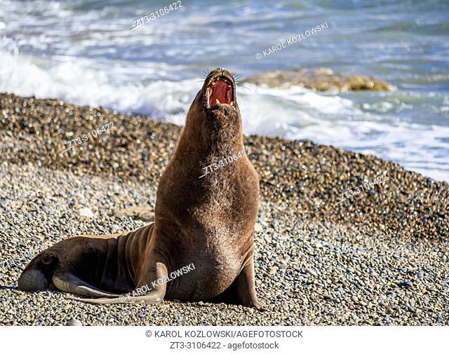 South American Sea Lion (Otaria flavescens), male, Punta Ninfas, Atlantic Coast, Chubut Province, Patagonia, Argentina