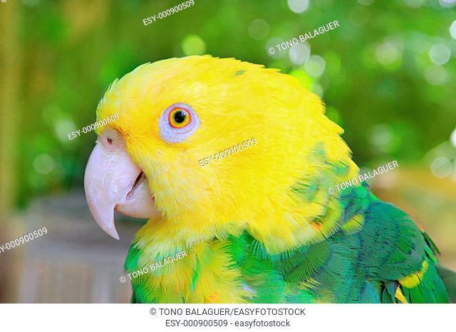 Amazon Parrot Yellow headed Oratrix Central America