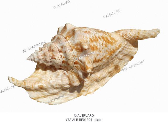Shell, Mollusk, Brazil