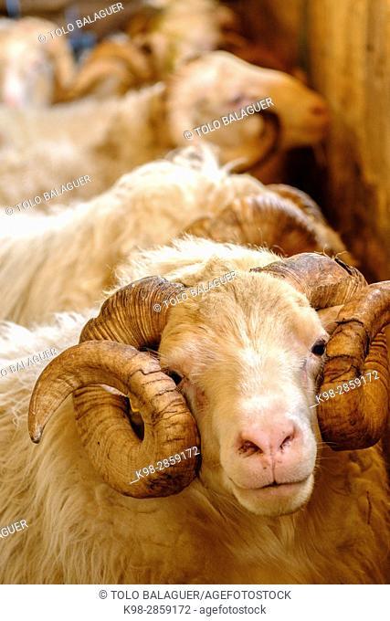 carnero de raza mallorquina, finca Es Bosch Vell, Santa Margalida, Mallorca, balearic islands, spain, europe