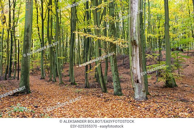 Beech stand in fall with path among hills, Wolinski National Park, Poland, Europe