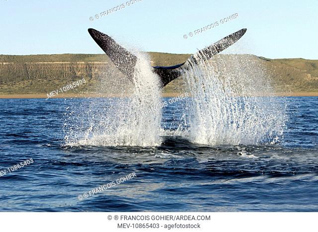 Southern Right whale - tail-lobbing, the whale raises its tail and slams it down repeatedly on the surface of the sea (Eubalaena australis)