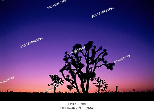 Silhouette of Joshua trees at dusk, Joshua Tree National Park, California, USA