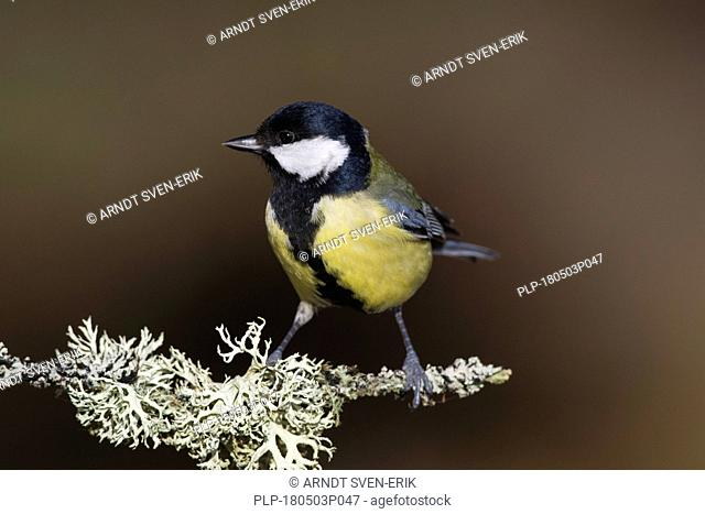 Great tit (Parus major) perched on branch covered with lichen in forest