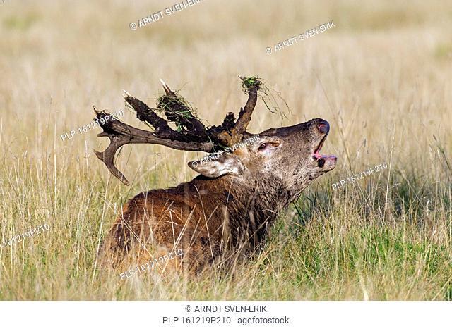 Red deer (Cervus elaphus) stag with broken antlers bellowing during the rut in autumn