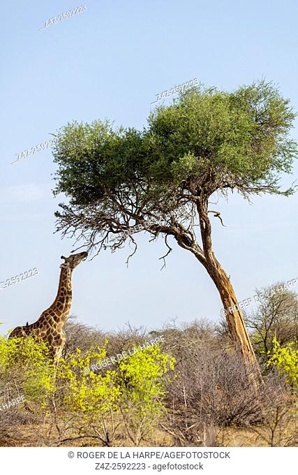 South African giraffe or Cape giraffe (Giraffa camelopardalis giraffa) with smelly shepherds tree (Boscia foetida) and Yellow pomegranate (Rhigozum obovatum)