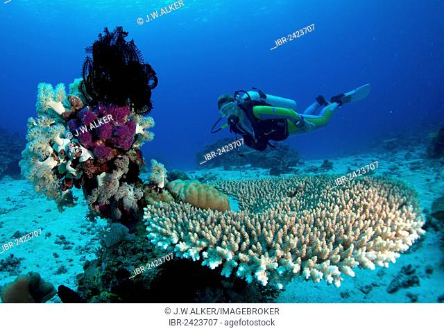 Scuba diver swimming in a coral reef behind plate coral and sponges, Philippines, Asia