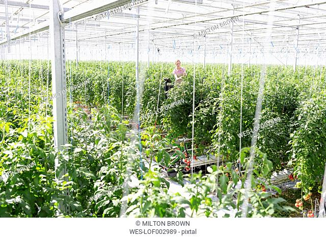 Young woman in greenhouse amidst tomato plants