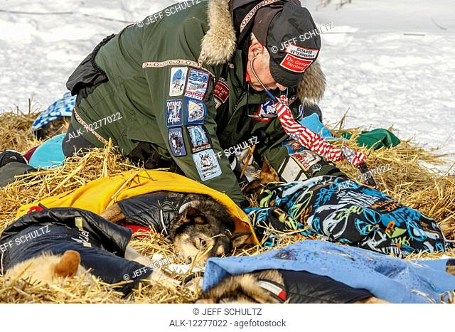 Volunteer vet examines sled dogs at White Mountain during Iditarod 2015