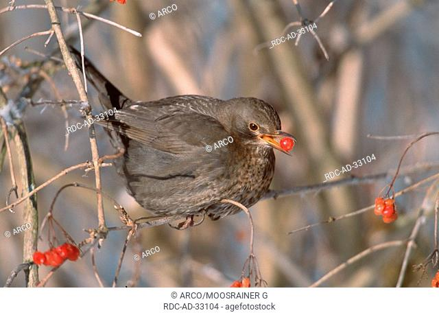 Blackbird, female, picking berries, Turdus merula