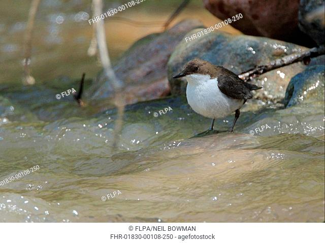 White-throated Dipper Cinclus cinclus leucogaster adult, standing in montane stream, Tien Shan Mountains, Kazakhstan, june