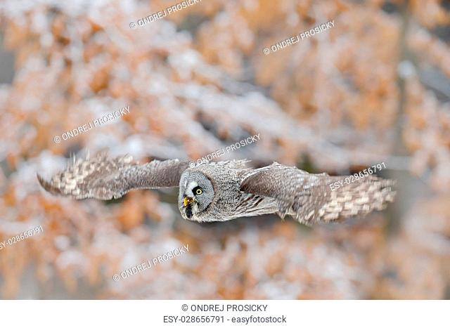 Great Grey Owl, Strix nebulosa