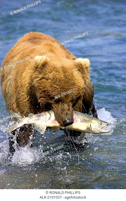 Brown Bear With A Salmon In Its Mouth Mcneil River Falls Southwest Alaska Summer