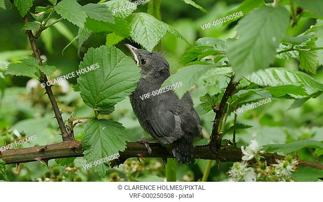 A Gray Catbird (Dumetella carolinensis) fledgling hides among vegetation on one of its first flights