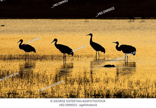 Sandhill crane dusk at pond, Bosque del Apache National Wildlife Refuge, New Mexico
