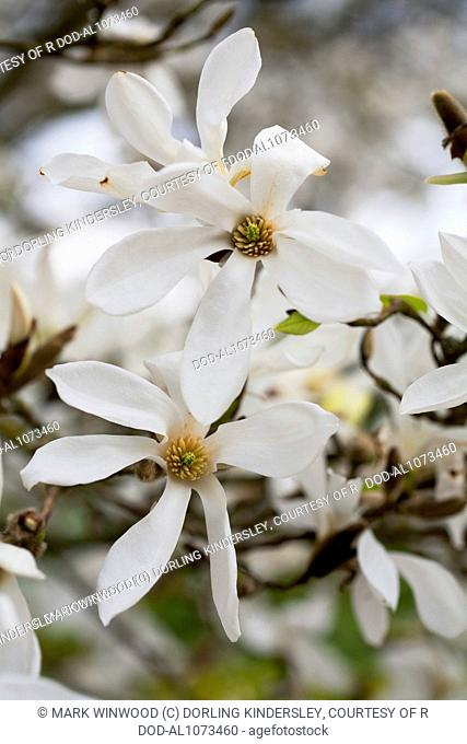 Magnolia salicifolia 'Wada's Memory' (Willow-leaved Magnolia)