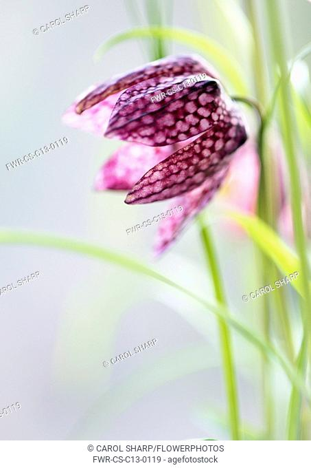 Snake's head fritillary, Fritillaria meleagris. A single flower close up showing detail of checkerboard pattern