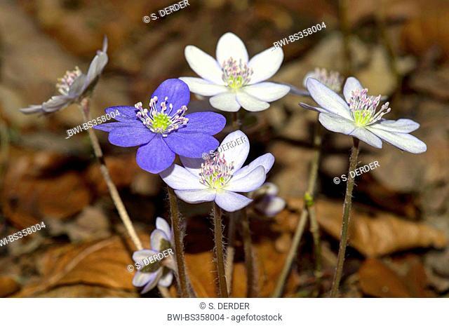 Hepatica liverleaf, American liverwort (Hepatica nobilis, Anemone hepatica), with white an violet flowers, Germany, Bavaria, Oberbayern, Upper Bavaria