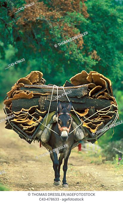 The stripped barks of the cork oaks (Quercus suber) are carried by mules (one mule can transport appr 200 kg) to an interime storage where they are unloaded