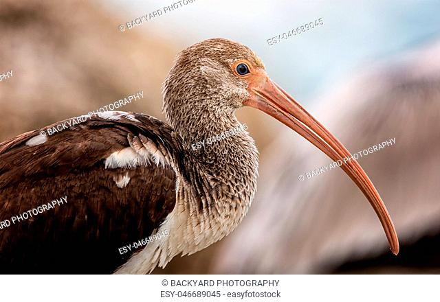 Wild Ibis on the Atlantic Ocean, Florida, USA