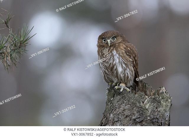 Ferruginous Pygmy Owl ( Glaucidium brasilianum ), perched on a rotten tree stump, looks forceful but cute, funny little owl