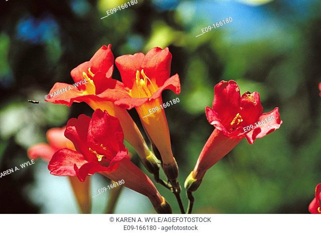 Red trumpet lilies with yellow centers being approached by small yellowjacket on left, sunlit, greenery in background