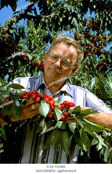 Agriculture - Farmer/grower field checking the quality of his Bing cherry crop prior to harvest / San Joaquin Valley, California, USA