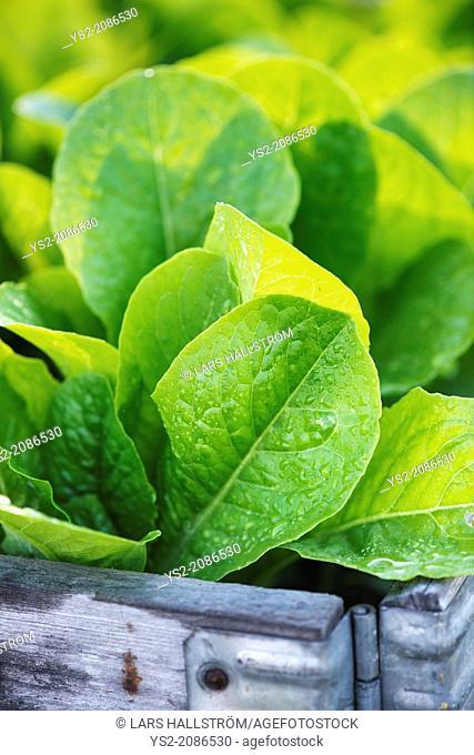 Fresh ripe romain lettuce growing in vegetable garden