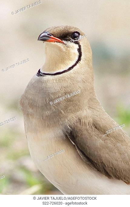 Collared Pratincole (Glareola pratincola)