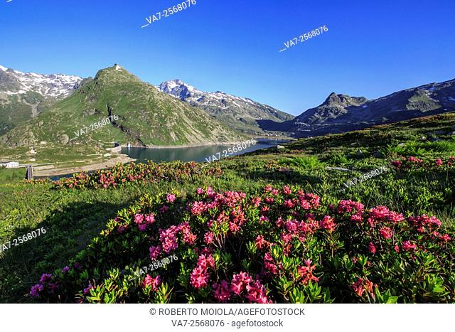 Rhododendrons surround Peak Tambò reflected in Lake Montespluga at sunrise Spluga Valley Valtellina Lombardy Italy Europe