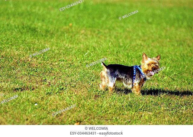 Dog on Lawn - Australian Silky Terrier having Fun on a Backyard. Pets Photo Collection